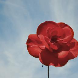 pcspringishere nature singleflower redrose simplicity freetoedit