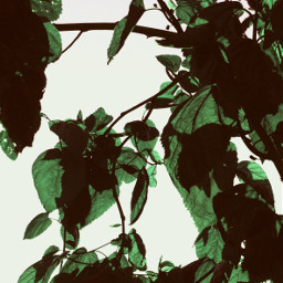 nature greenery treebranches greenleaves againsttheskylight freetoedit