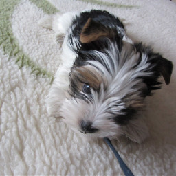 dog puppy challenge picsart photography cute beautiful doggy pet yorkshire terrier mydog pcpuppy