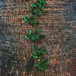 pcgreenminimalism naturearoundme climbingplant palmtreetrunk wildplant freetoedit
