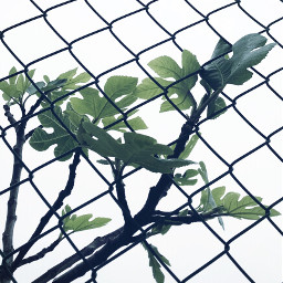 freetoedit figtreebranches freshleafs wirenetting negativespace
