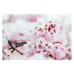 freetoedit cherryblossoms
