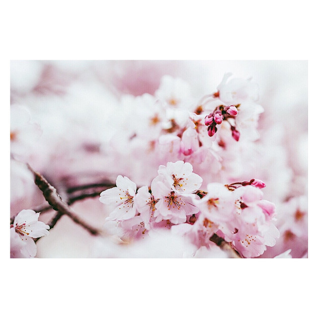 #freetoedit #cherryblossoms