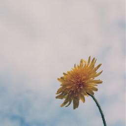 nature flower simpleflower grassflower dandelion freetoedit