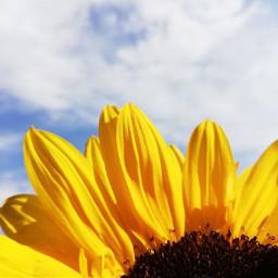 freetoedit yellow sunflower plant clouds