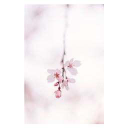 freetoedit cherryblossoms spring