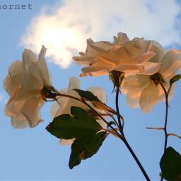 photography whiteroses sky freetoedit