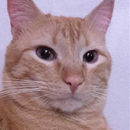 whiskers selfportrait catrait cats catlove pcselfportrait portrait