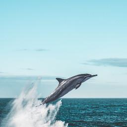 dolphin dolphins ocean sea animal freetoedit