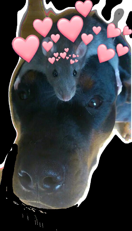 #rats #cute #doggo #love