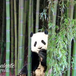 freetoedit panda forest bamboo myedit