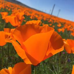 poppy poppyseed poppyedit spring springtime