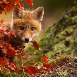 renardeaux foret automne
