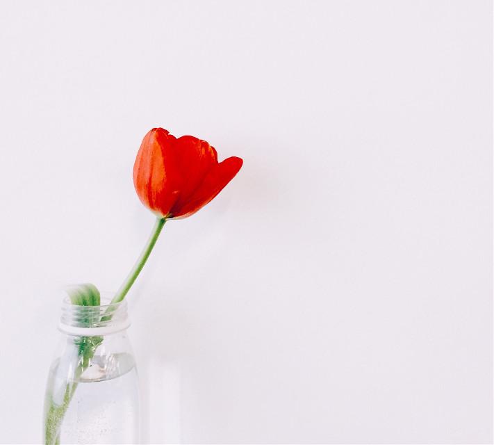 #freetoedit #springflower #tulip #singleflower #pcsinglestilllife