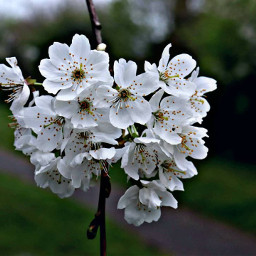 nature blossom cherryblossom flower outandabout freetoedit
