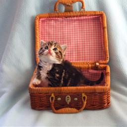 kitten cutecat cat catinabox mycat pchappypetday freetoedit