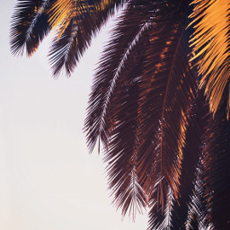 palmtree palmleaves lateafternoon sunsetting warmsunnylightonleaves freetoedit