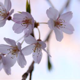 sakura cherry flower canon spring
