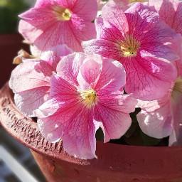 pcmyplants myplants pinkflower