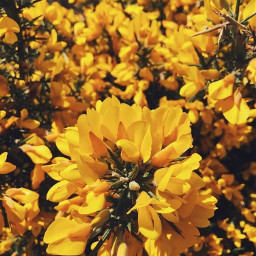 freetoedit background aesthetic yellow flowers