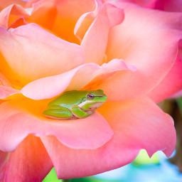 frog frogs animal animals nature freetoedit