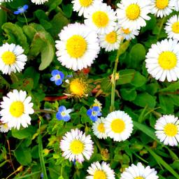 spring flowers daisy daisyflower nature freetoedit