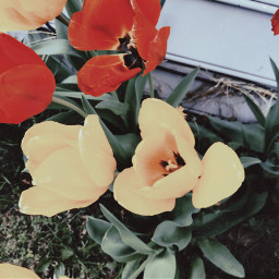 freetoedit flower flowers peddles nature