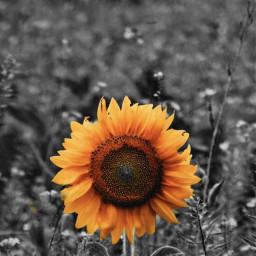 colorsplash flower eccolorsplasheffect colorsplasheffect freetoedit