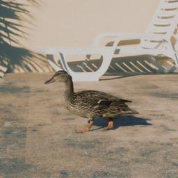 freetoedit duck florida birds walking
