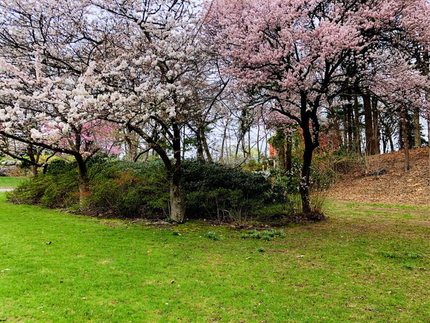 #freetoedit Good morning 🌸Have wonderful day friends! #blossoms #blooming #spring #pinkandgreeb