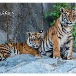 freetoedit pczoo tiger petsandanimals animals