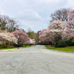 freetoedit blooming blossoms spring trees