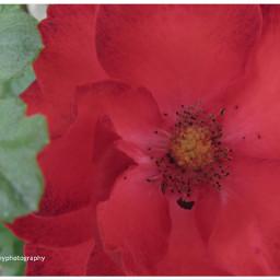 freetoedit rose flowers flowersremix gardenshots