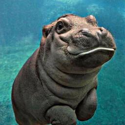 freetoedit hippopotamus hippo swimming floating