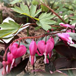 freetoedit hearts bleedingheart florals floralcanvas