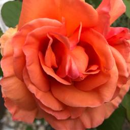 freetoedit rose garden mygarden picsart