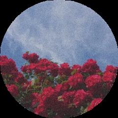 aesthetic background roses sky flowers