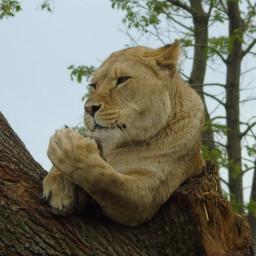 lion givingthefinger animals nature naturephotography