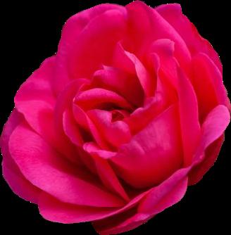 #rose #pink #flower #naturesbeauty #roseflower  #freetoedit