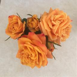 rose orange flower nature freetoedit
