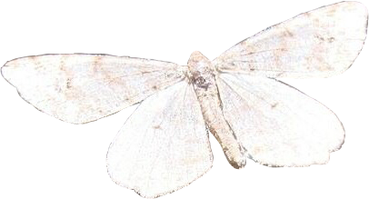 moth butterfly white grey cream freetoedit