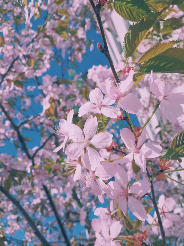 #aesthetic #cute #tumblr #japan #sakura #cherry #freeToEdit #pink #blue #nature #sky #flower #flowers #cherrytree