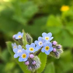 myosotis flowers nature macrophotography bautyfull