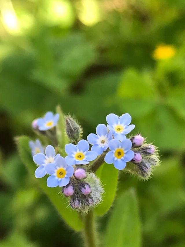 #Myosotis arvensis (L.) Hill #flowers #nature #macrophotography #bautyfull #miniature