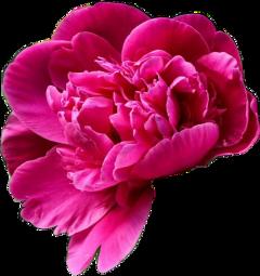 flower remixme peony peonyflower peonies freetoedit