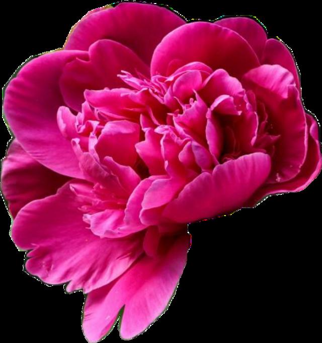 #flower  #remixme #peony #peonyflower #peonies #whimsy #whimsical #wedding #weddinginvitations #plants #flowers #weddingcarddesign #weddinginvitation #weddingflowers #artsy #nature #naturesbeauty #naturelover #freetoedit