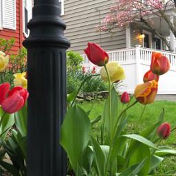 freetoedit tulips spring colorful neighbourhood