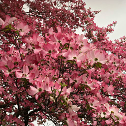 freetoedit blossoms pink tree nature