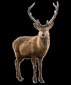 deer elk reindeer animal animals ftestickers freetoedit