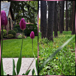 instacollage nature tulips trees vertical freetoedit